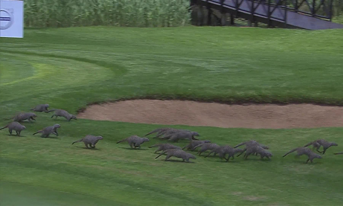 Mongoose invasion at Sun City!