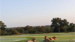 Lions at Skukuza GC